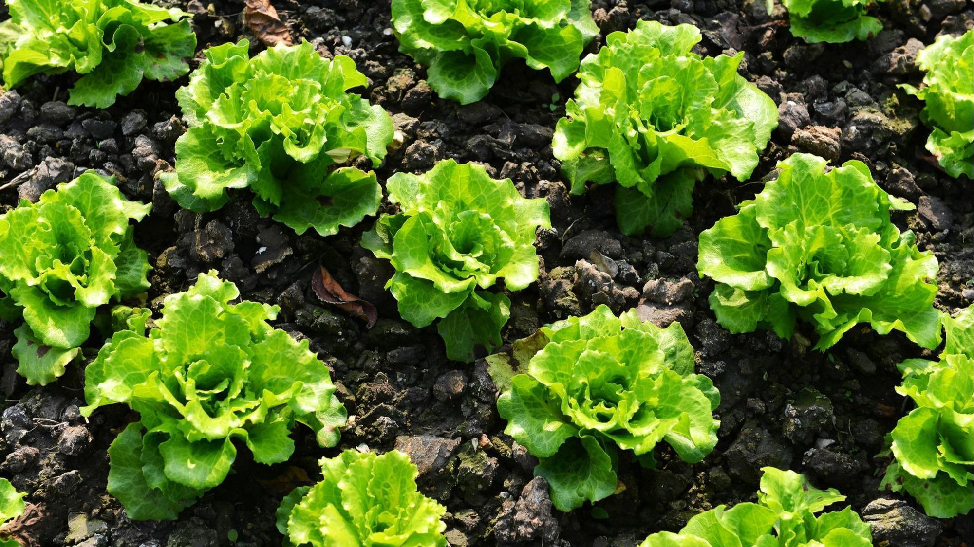 Update on E. coli outbreak from romaine lettuce - Orlando ...