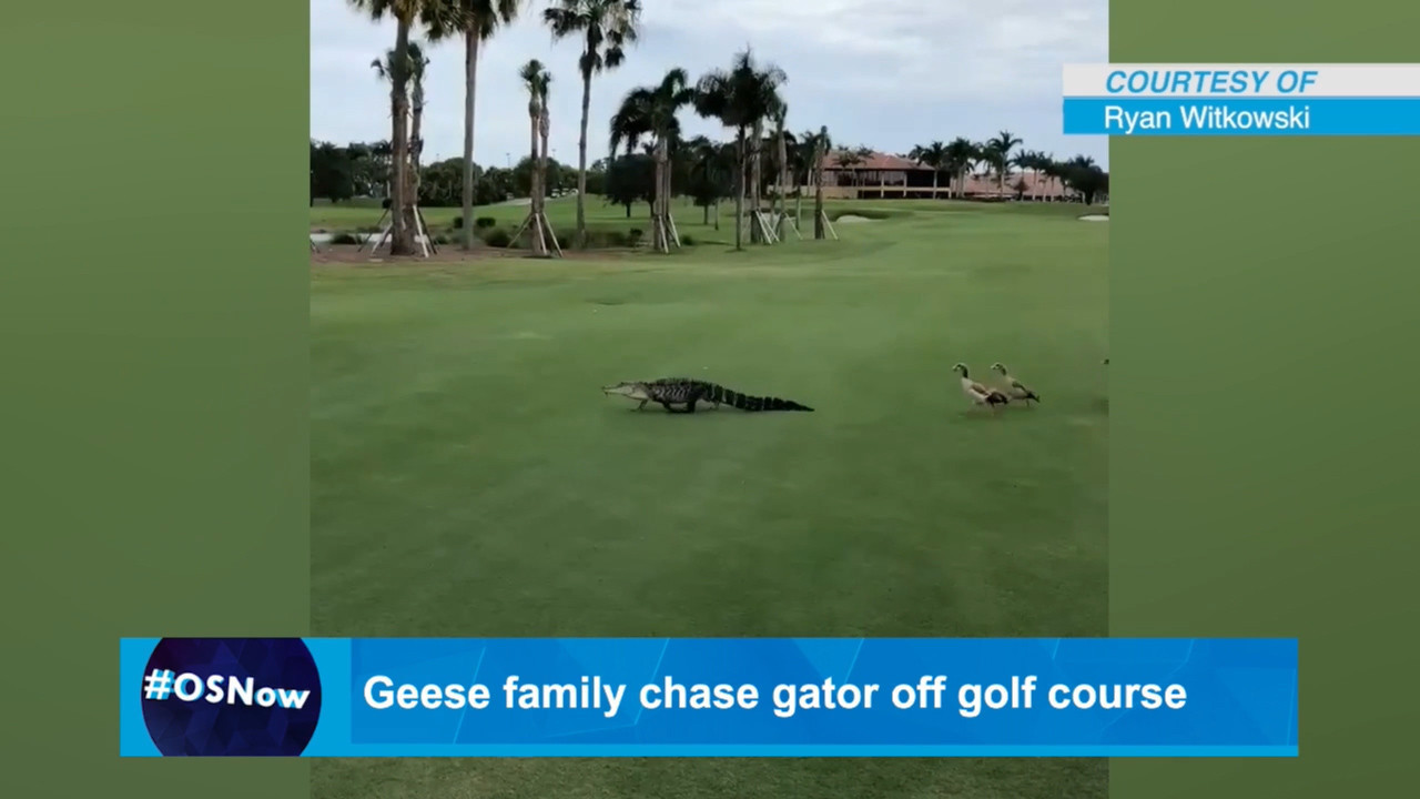 Geese family chase gator off golf course in Palm Beach - Orlando ...