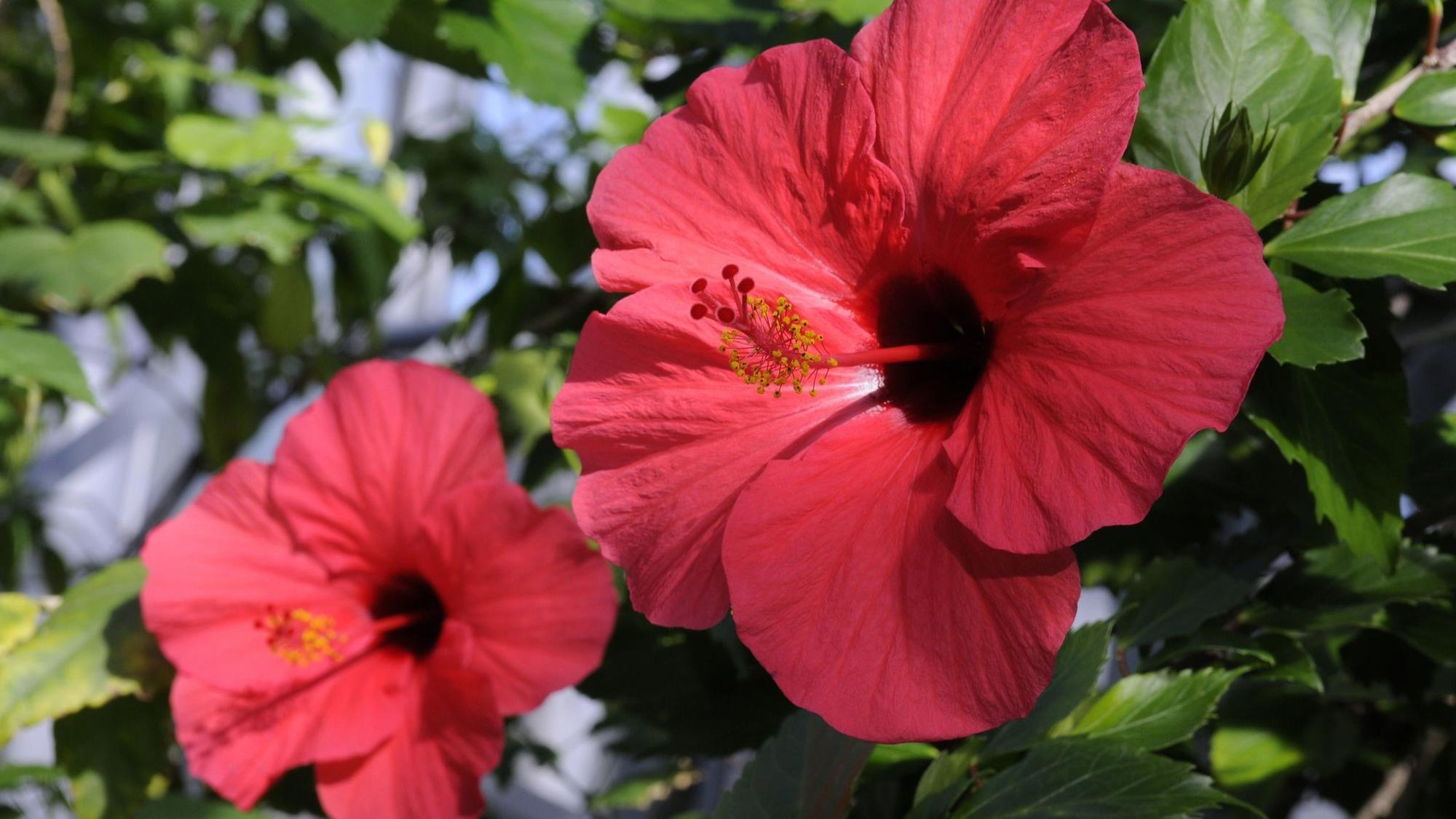 Prune fertilize provide enough sun care strategies for tropical prune fertilize provide enough sun care strategies for tropical hibiscus chicago tribune izmirmasajfo