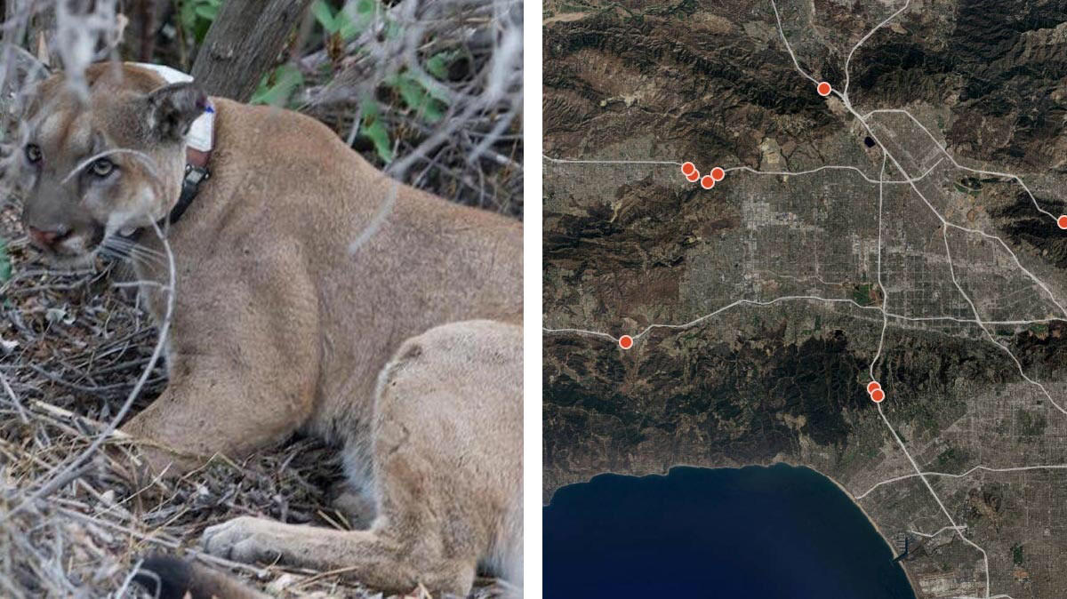 Mountain lions are being killed on freeways and weakened by inbreeding. Researchers have a solution
