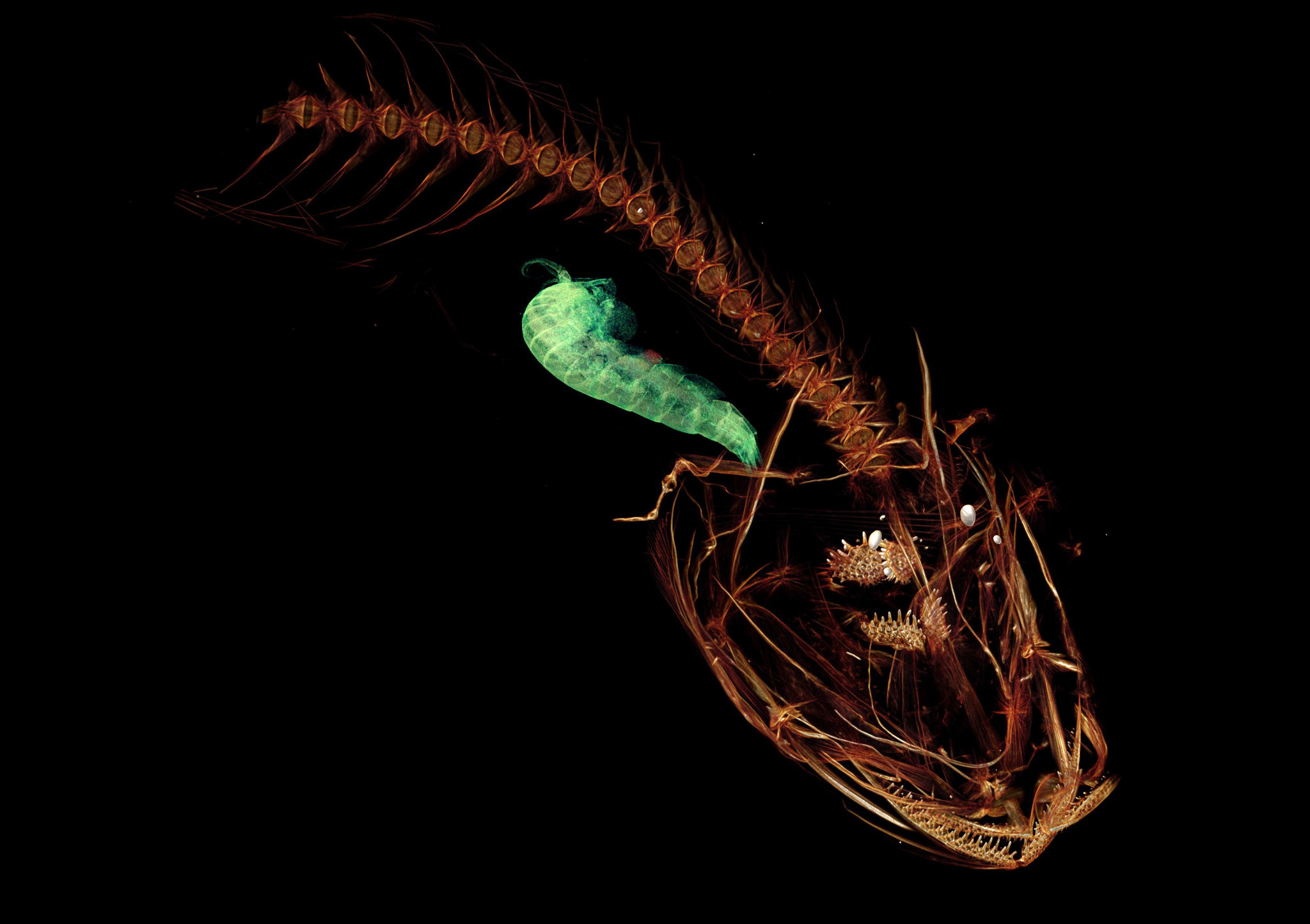 The Mariana snailfish