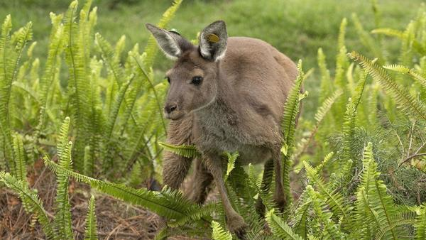 Cuckoo for kangaroos? They'll be hopping at San Diego Zoo Safari Park's new Walkabout Australia