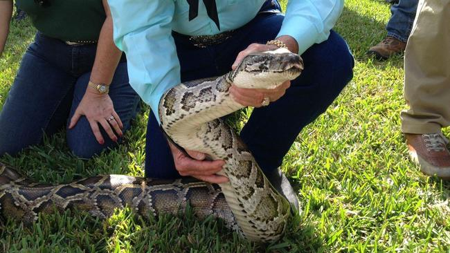 Hunters with shotguns to go after pythons in Everglades National Park