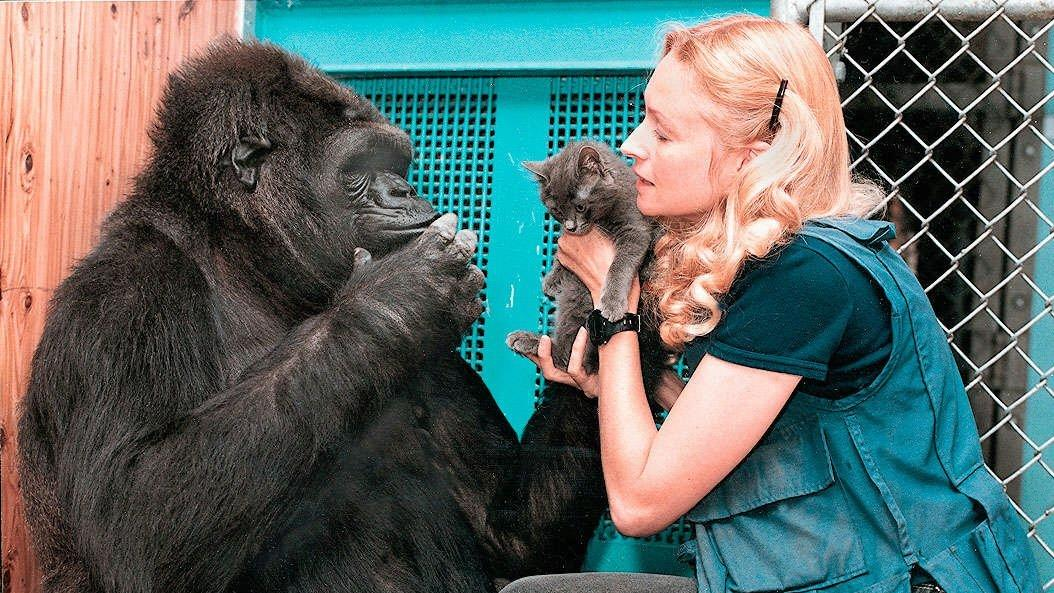 1996: Dr. Francine Patterson plays with Koko and her kitty-cat pal. Koko knows 2,000 words in sign language. (File photo)