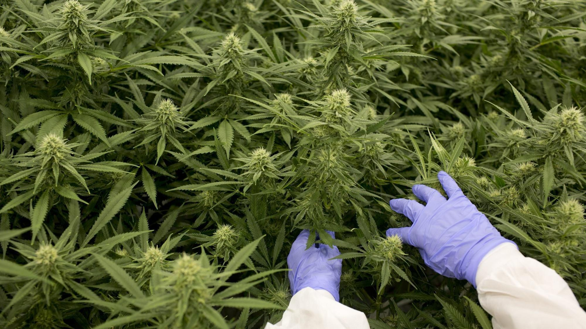 Regulators Investigating Maryland Medical Marijuana Grower
