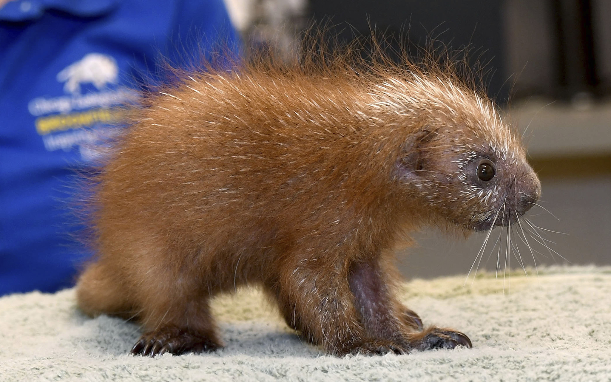 baby porcupine called a porcupette is 1st of its species born at