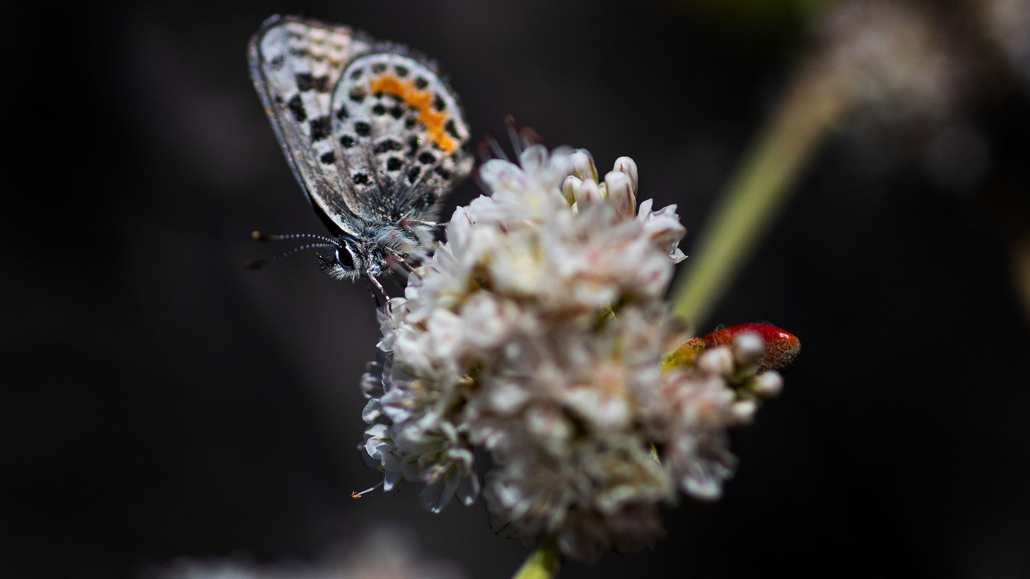 Hating on ice plant while tracking the flirty El Segundo blue butterfly | Los Angeles Times
