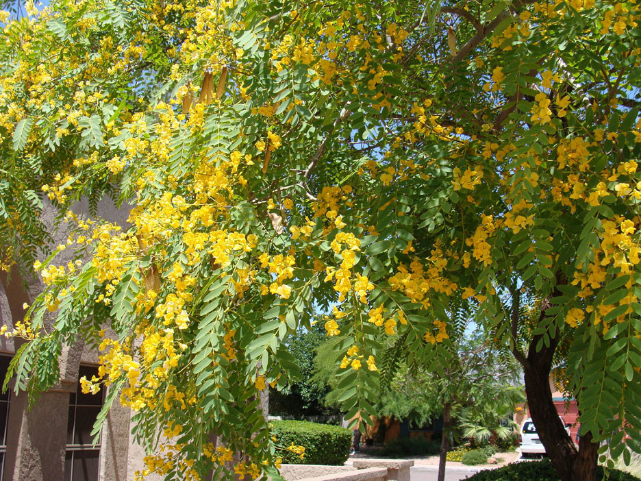 yellow blooms on tipu tree