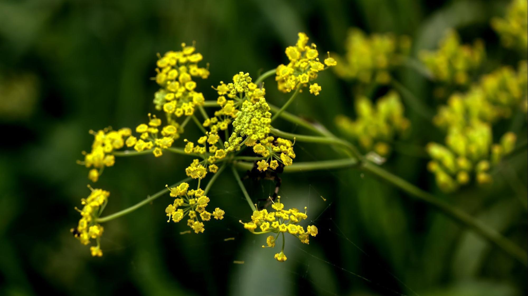 Beware The Wild Parsnip Flowering Plant Found Throughout Illinois