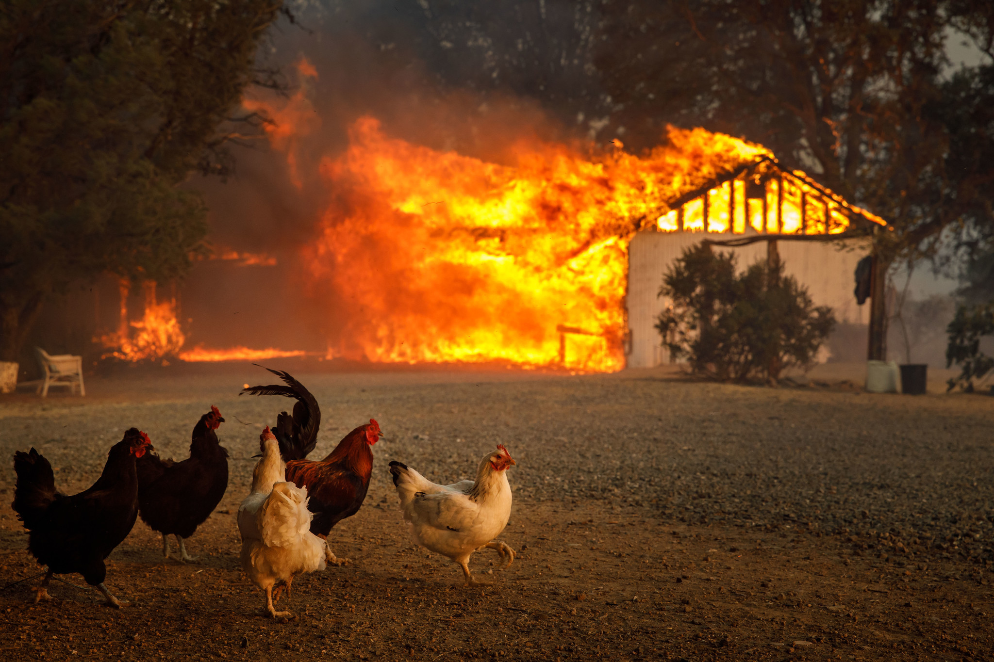 LAKEPORT, CALIF. — TUESDAY, JULY 31, 2018: Chickens watch as a home is destroyed by the River Fire