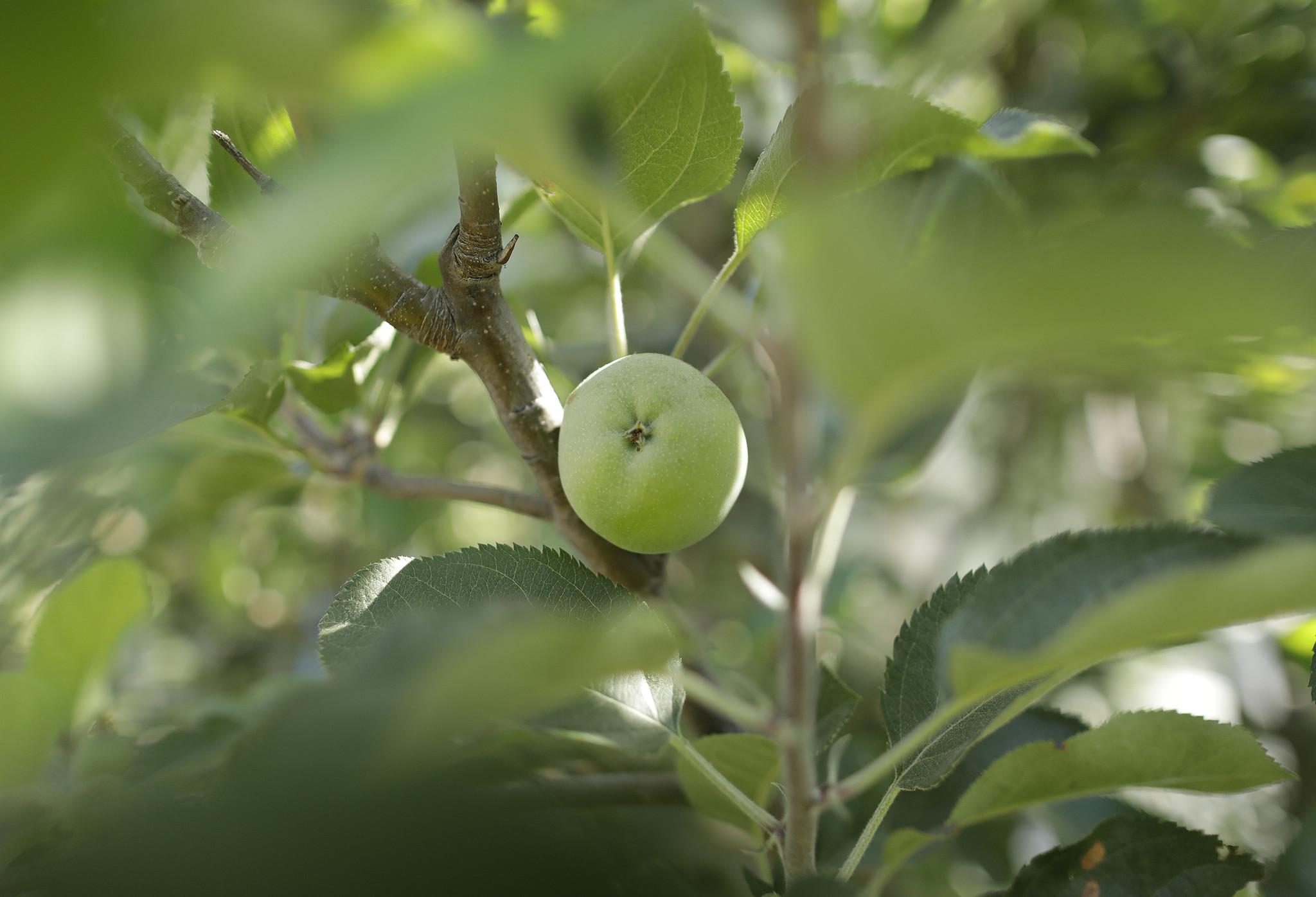 LOS ANGELES, CA -- AUGUST 16, 2018: An apple tree bears fruit at Heritage Museum in Los Angeles. Fru