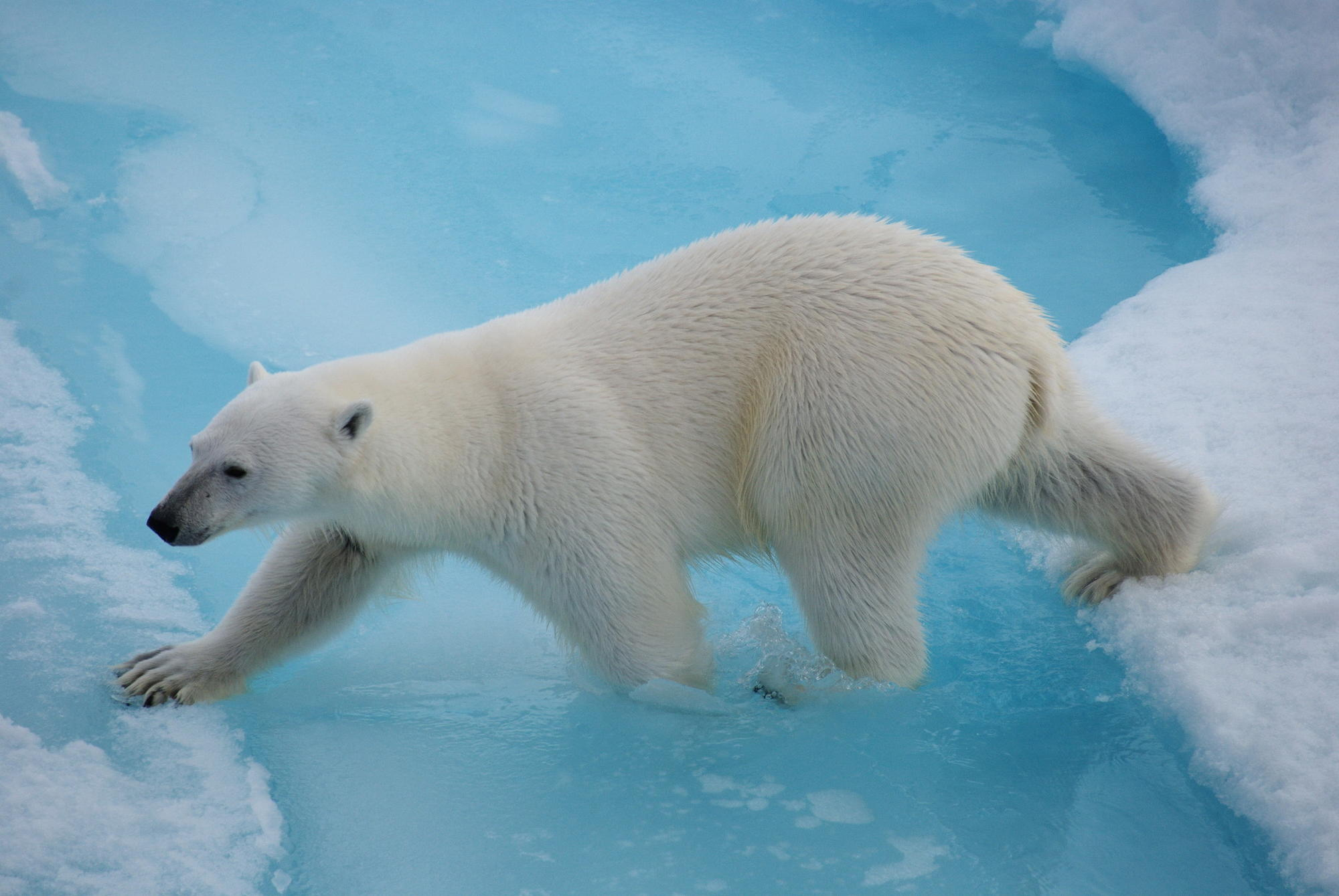 Polar bears in the Russian Arctic