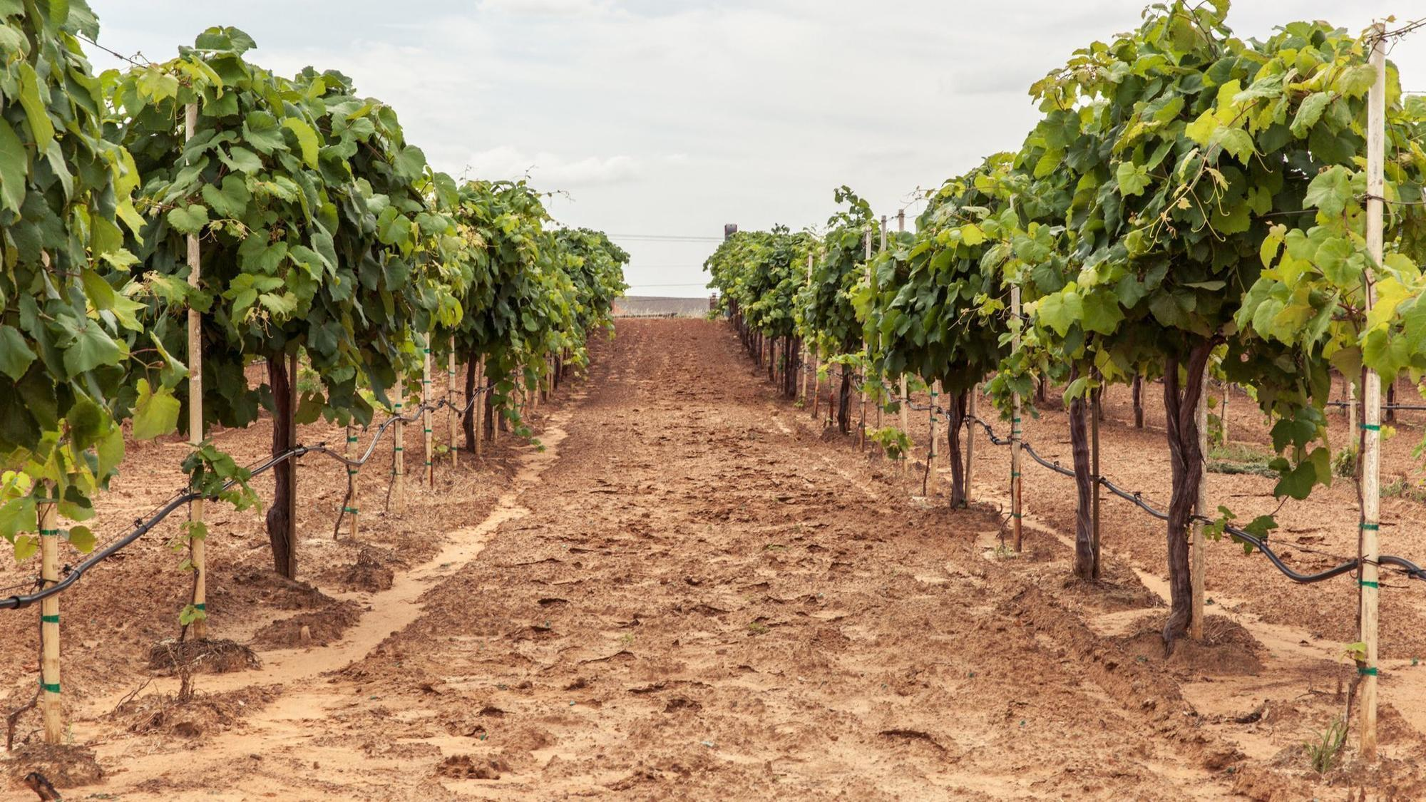 Image result for texas hill country vine