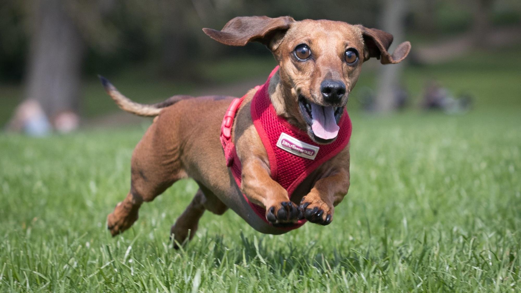 Image result for dachshund races oktoberfest