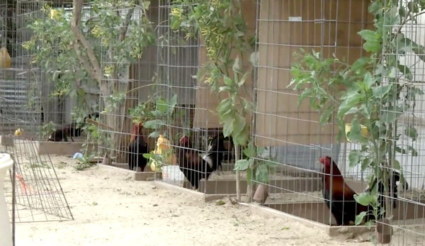 After huge cockfighting bust, L.A. supervisors seek to limit roosters