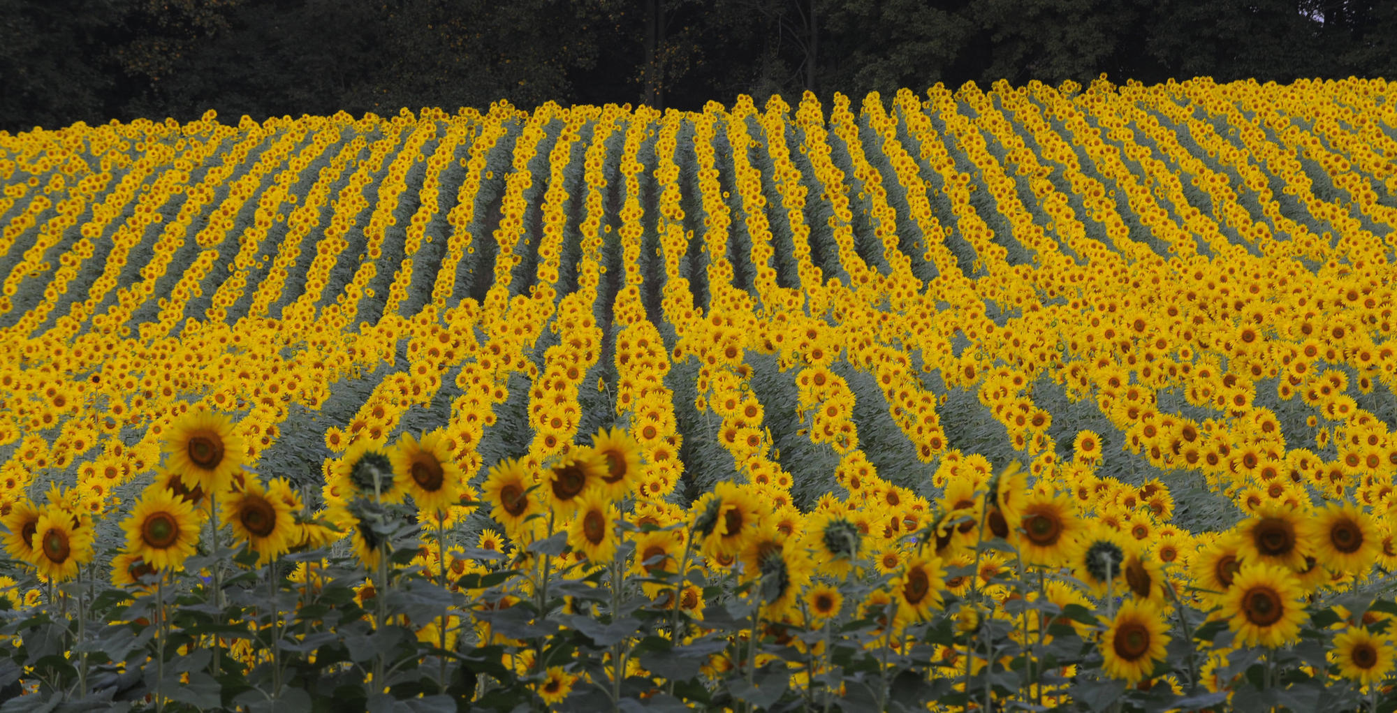 After being washed out by rain this summer this maryland sunflower after being washed out by rain this summer this maryland sunflower field is now in full bloom the aegis mightylinksfo