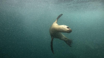 Tourists flock to swim with sea lions near Peru's capital
