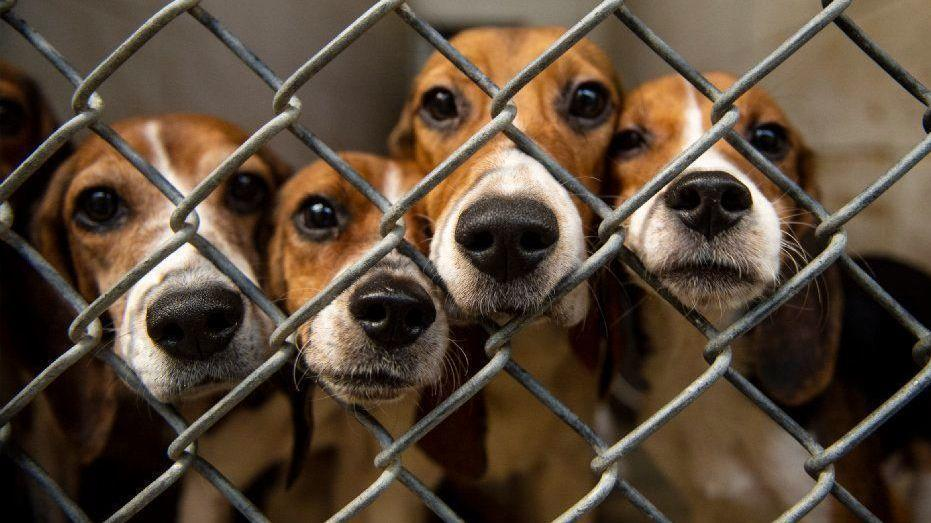 Herded From One Home Bevy Of Beagles Being Nursed Back To Better