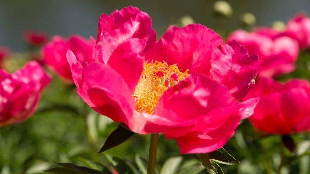 It's not too late to move peonies within the garden; here's how