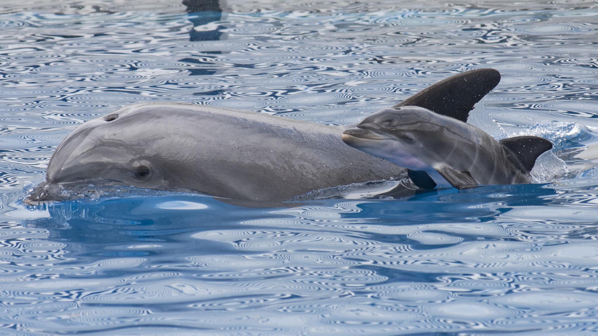 Bottlenose dolphin born at SeaWorld
