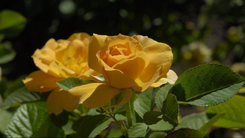 Seasonal maintenance for roses depends on the type