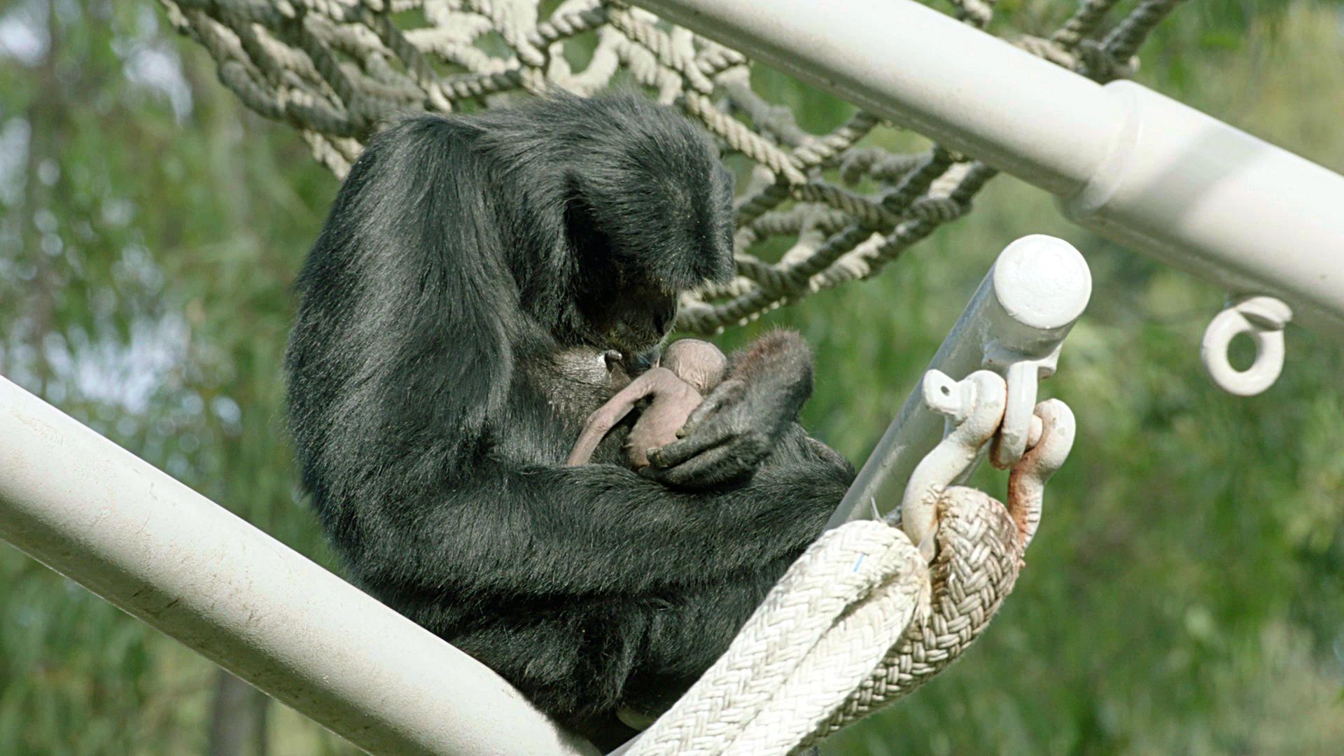 Defying birth control, siamang Eloise has baby at San Diego Zoo - The San  Diego Union-Tribune