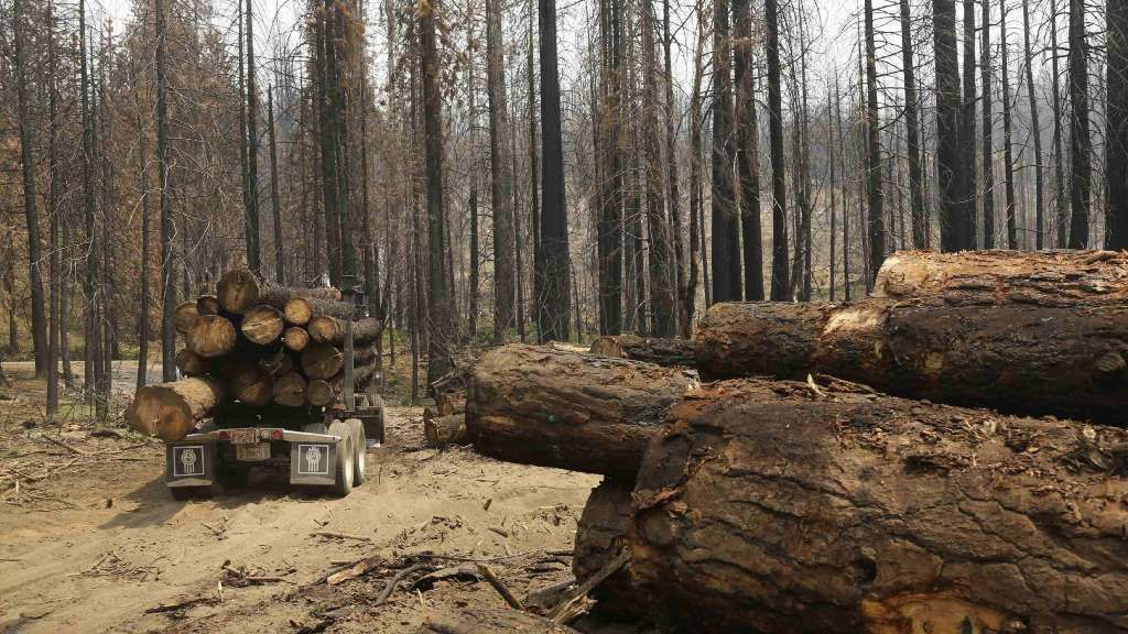 Timeline: California's intense tree mortality follows a culture of fire suppression driven by logging interests