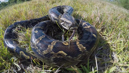 Everglades Pythons Found With Deer Alligators Rats In Their