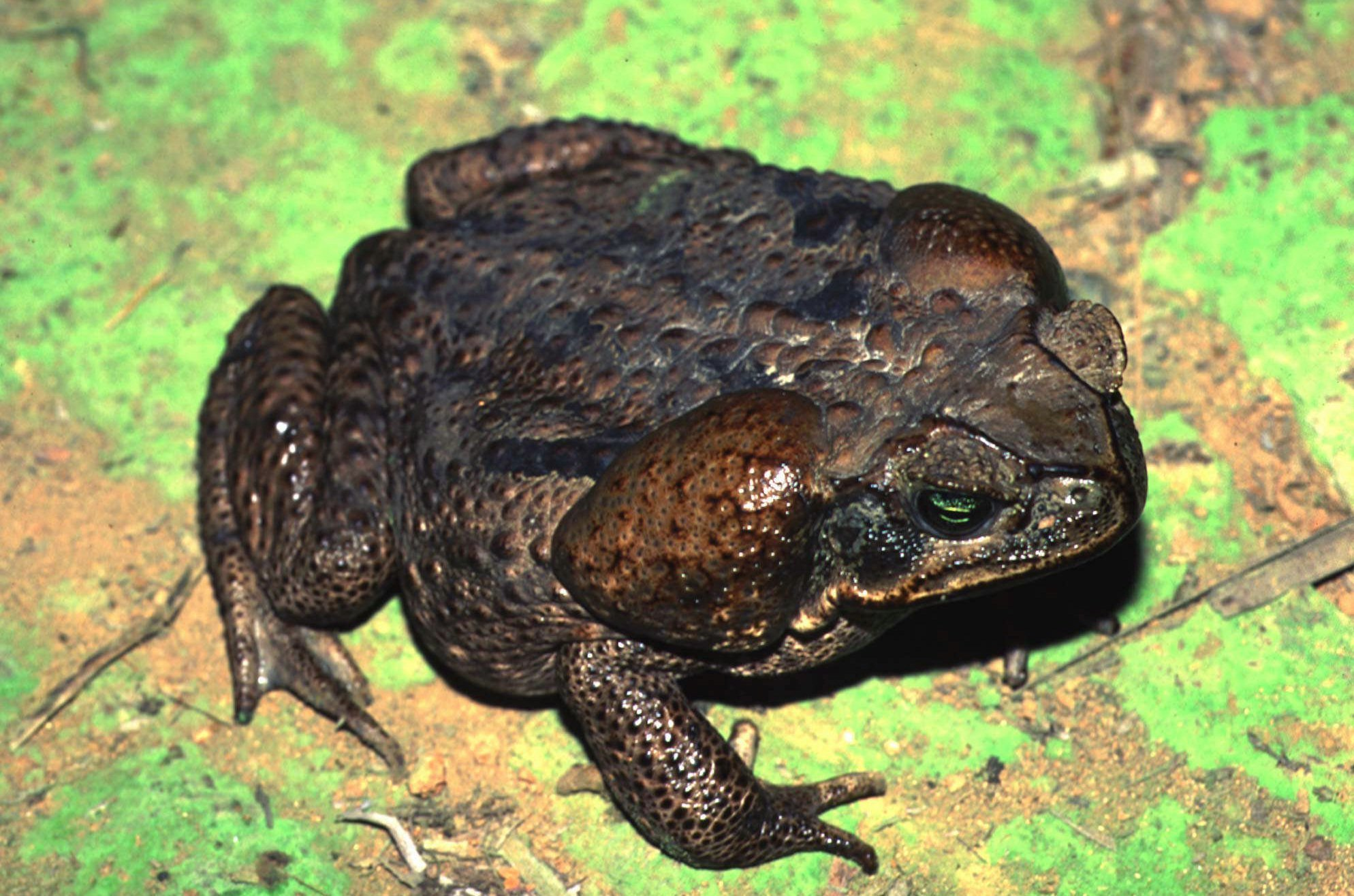 Poisonous bufo toads infesting South Florida neighborhood and they are spreading
