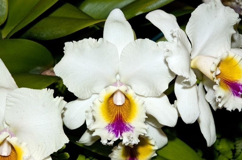 Fort Lauderdale orchid festival and show blooms on Jan. 25