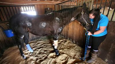 Horse that escaped 'death sentence' now healing at Lake ranch