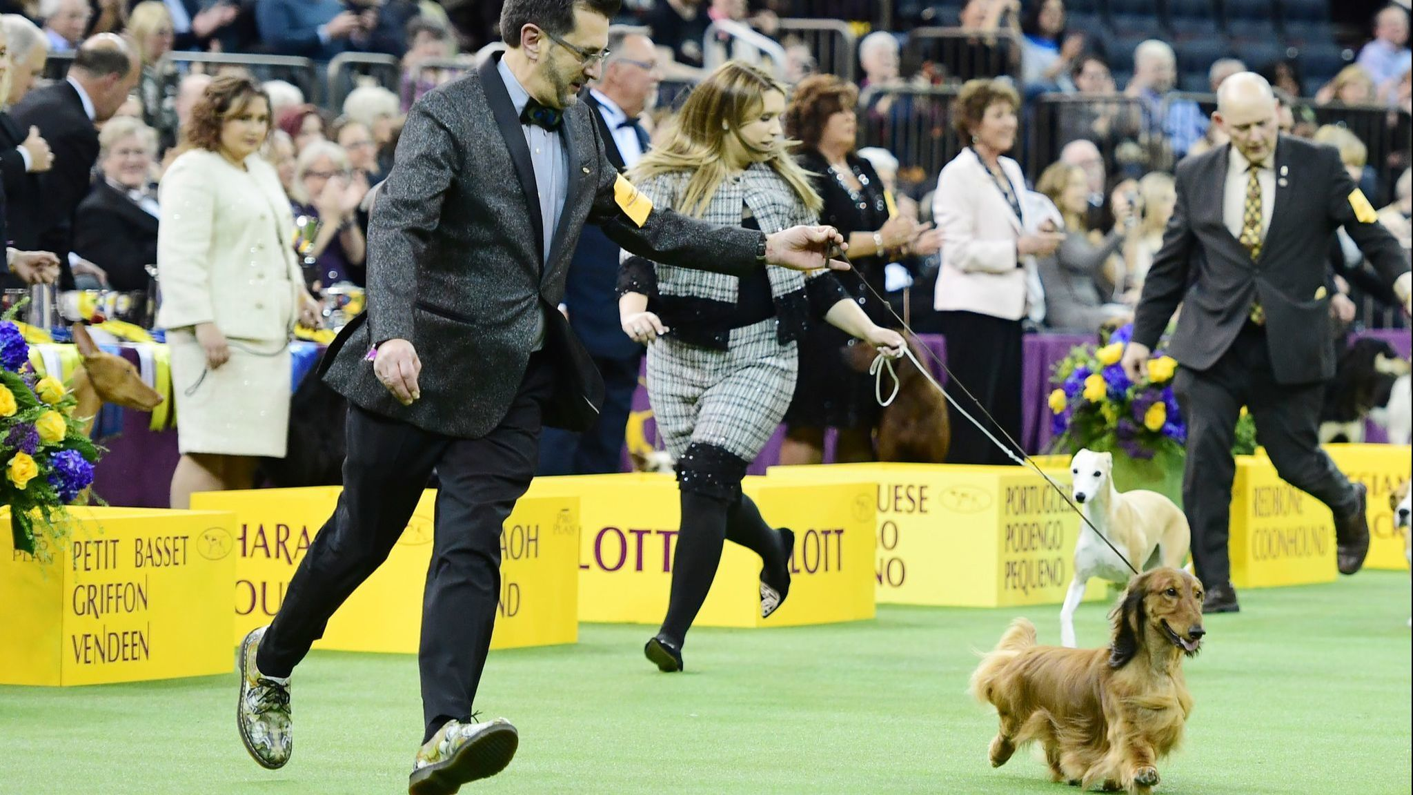 Never before has a dachshund been chosen as America's top dog. That could change Tuesday night