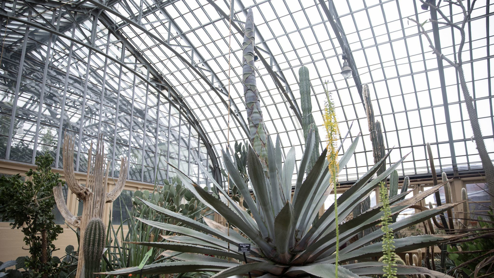 Garfield Park's agave plant is having a growth spurt in the midst of a frigid winter. Here's why.