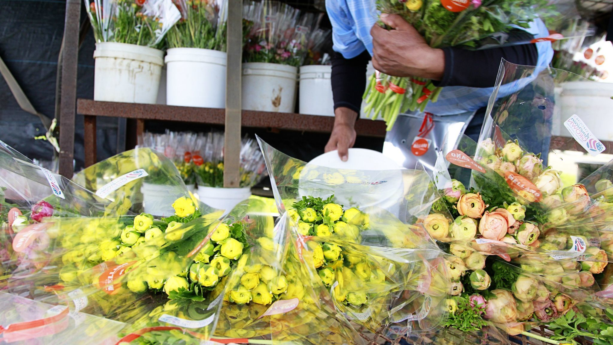 Recent rains promise a 'super bloom' at Carlsbad's Flower Fields