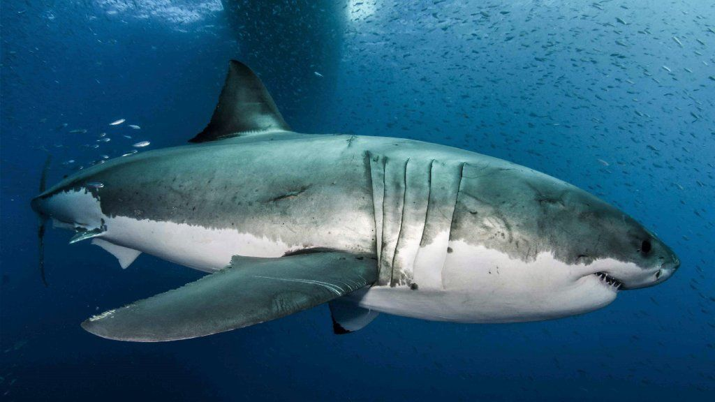How to build a great white shark: Scientists crack huge predator's genetic code