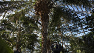 Note To Fox News This Is Not Palm Tree >> Time To Say Goodbye To Garfield Park Conservatory S 93 Year Old Palm
