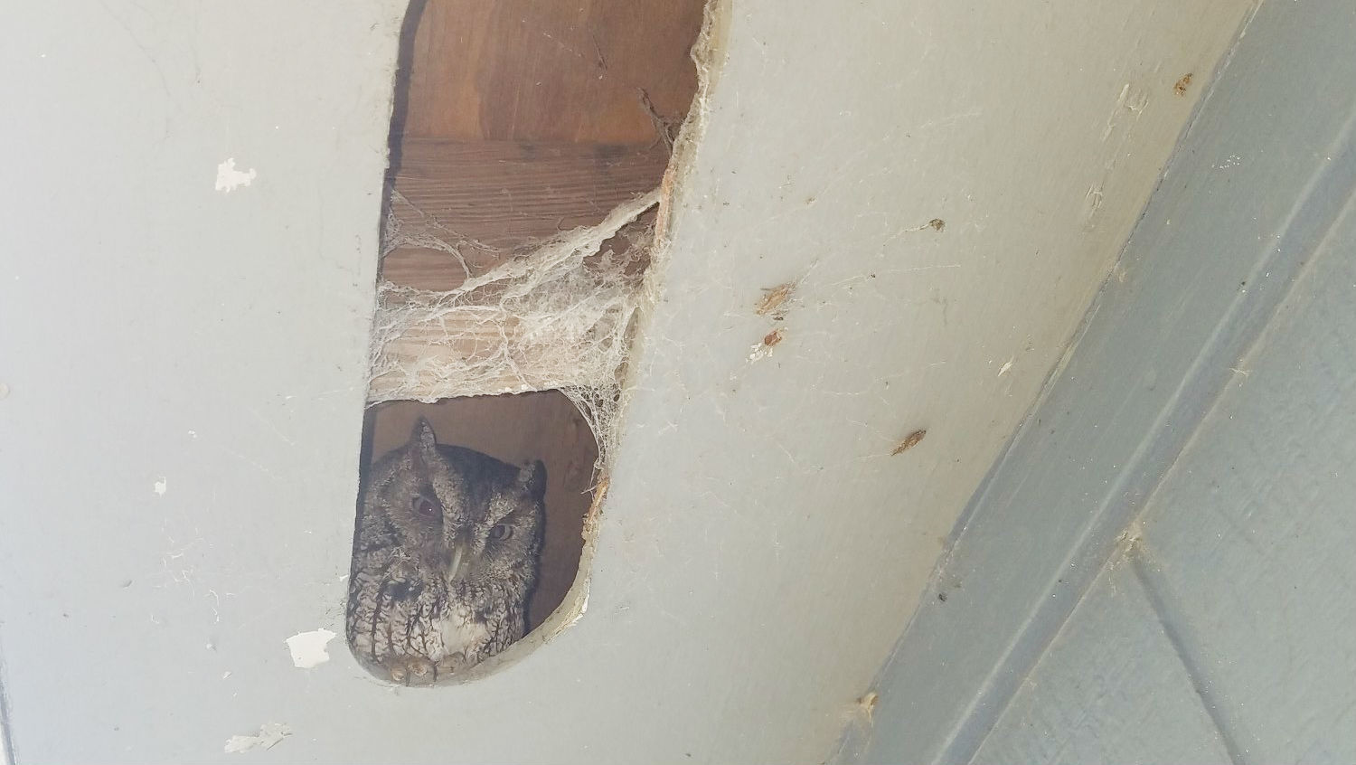 Tiny owl making itself at home delays Florida couple's renovations