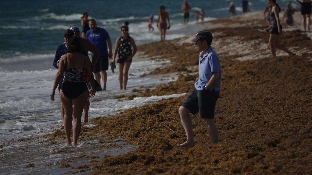Rare onslaught of seaweed overruns South Florida beaches