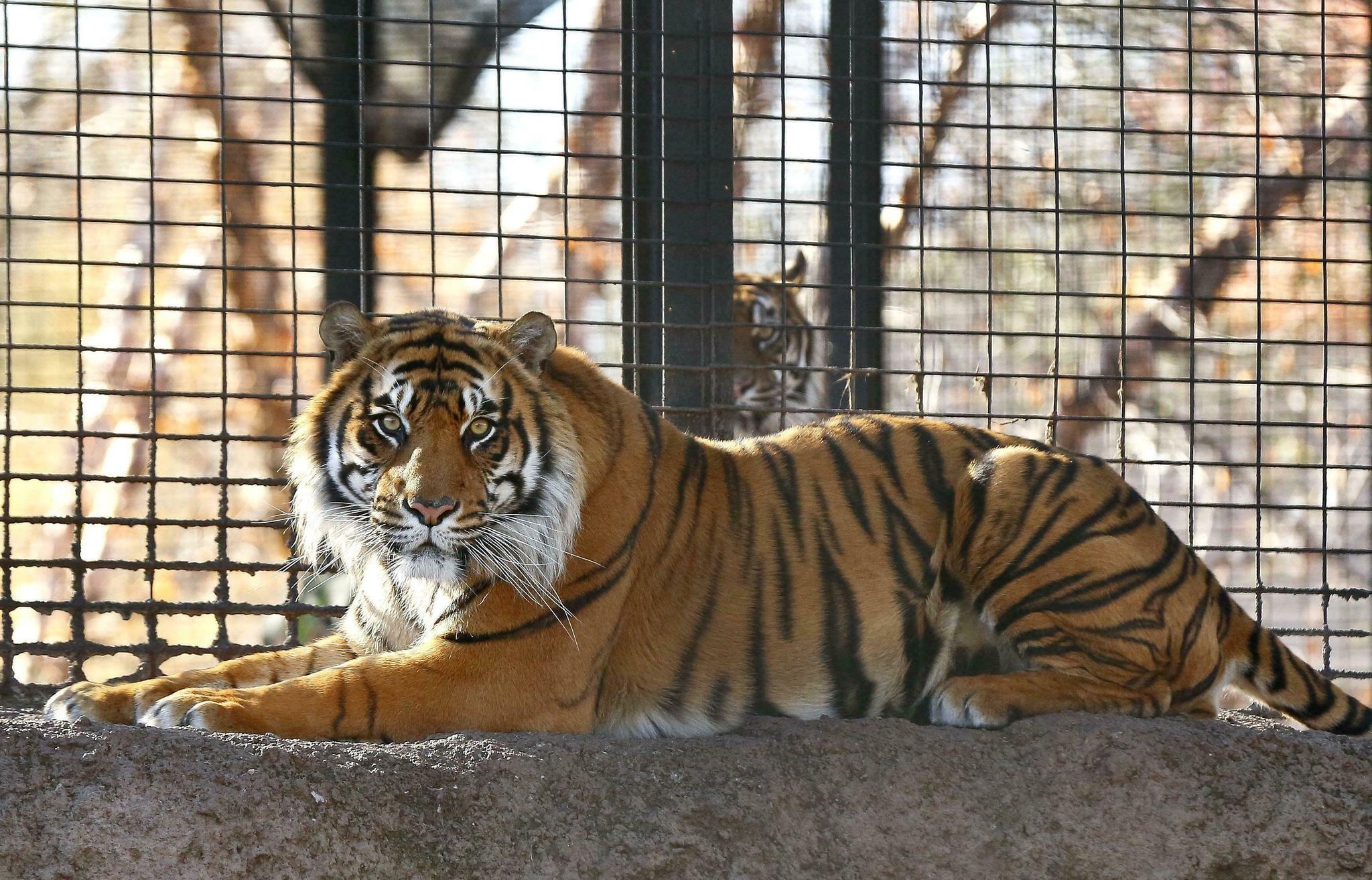 Tiger mauls zookeeper at Topeka Zoo