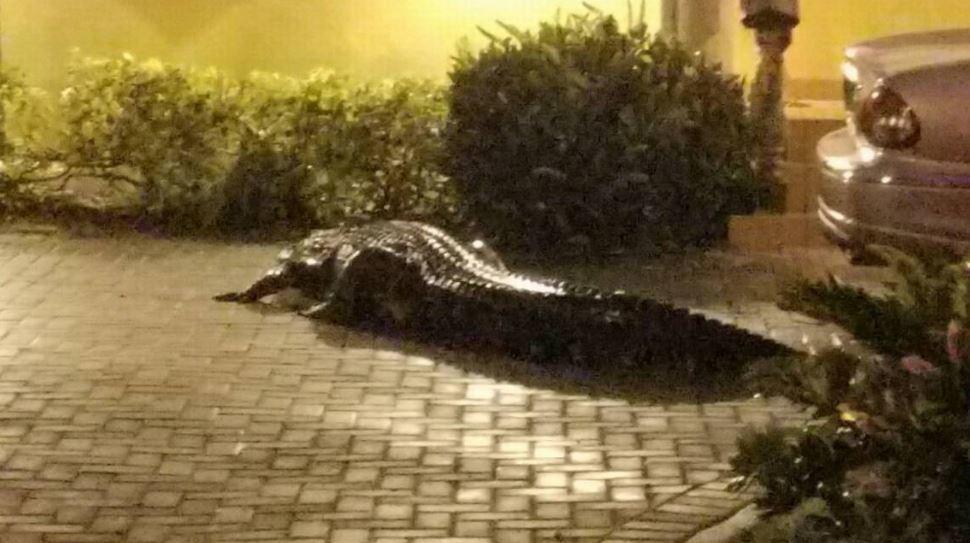 600-pound alligator euthanized after breaking through Miami home fence