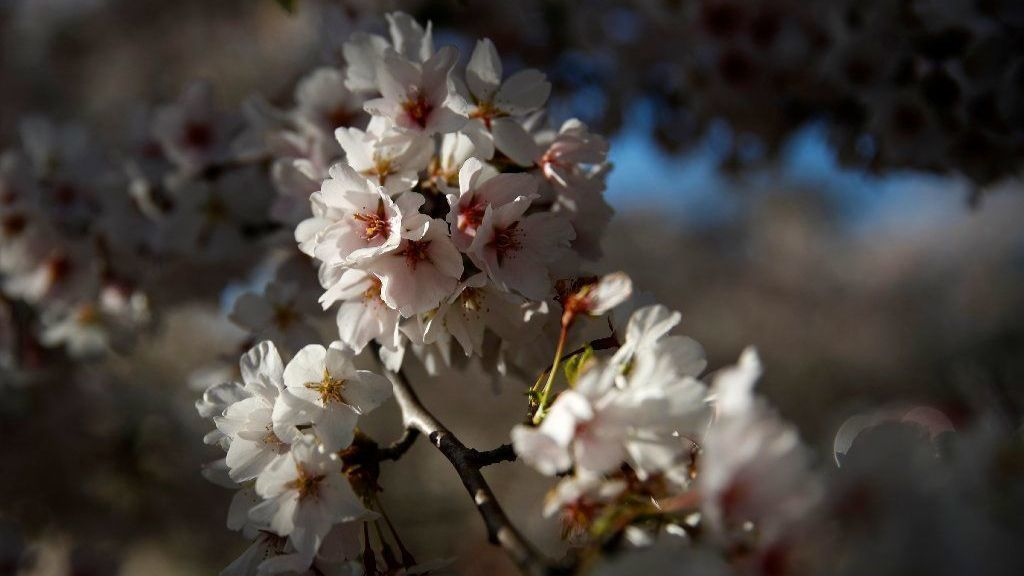 Chicago gets its own cherry blossom season: 160 trees planted in Jackson Park will finally be ready for viewing this year