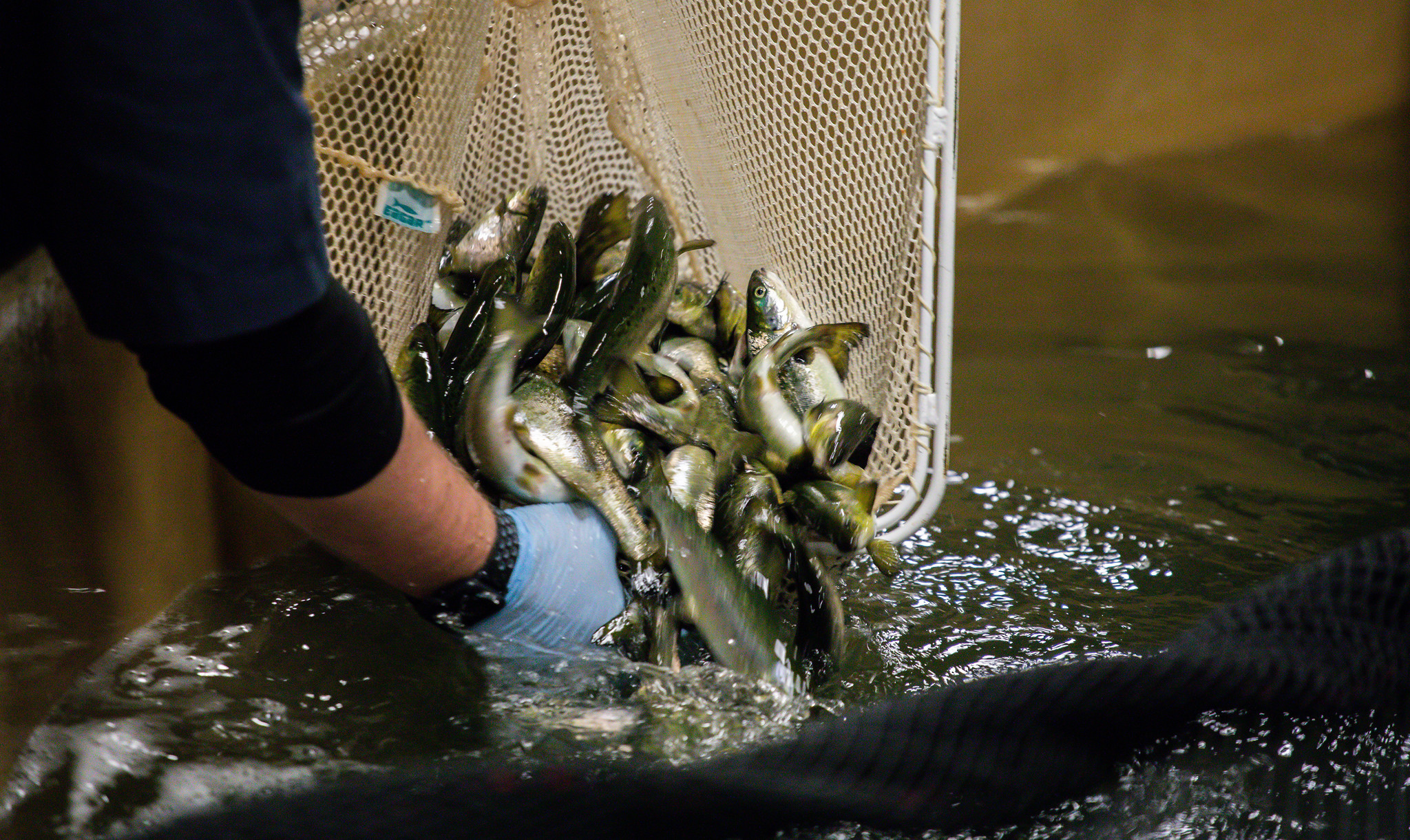 Indiana salmon hatchery to raise nation's first genetically modified animal cleared for human consumption