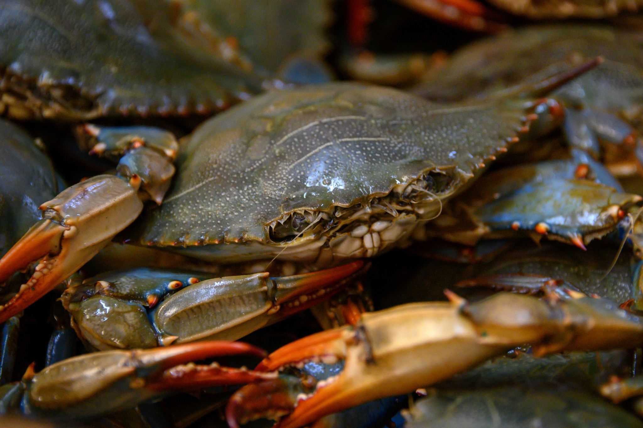 Chesapeake Bay's blue crab population is doing well heading into the Fourth of July, report says