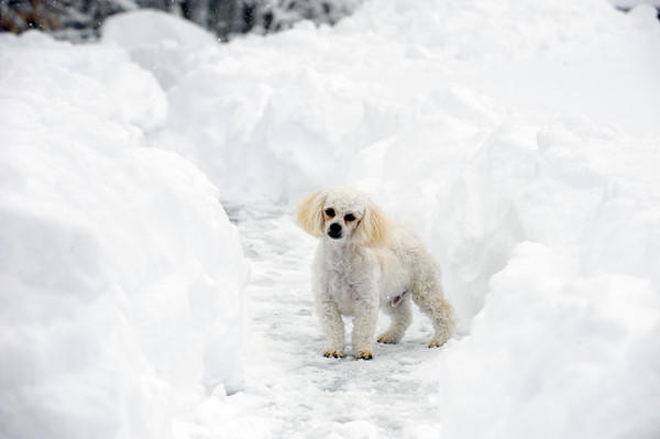 Charlie the dog takes a walk on the newly cleared driveway at its home in Harford County.