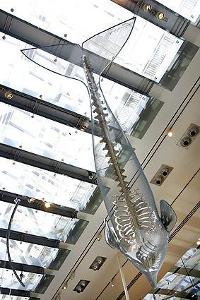 The fossilized skeleton of an <i>Aulophyseter</i>, an extinct genus of sperm whale, is partly encased in a mesh form indicating the contours of its body and suspended from the ceiling.