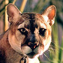 Endangered: Florida panther