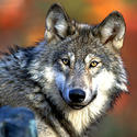 Threatened: Gray wolf