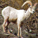 Endangered: Bighorn sheep