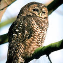 Endangered: Spotted owl