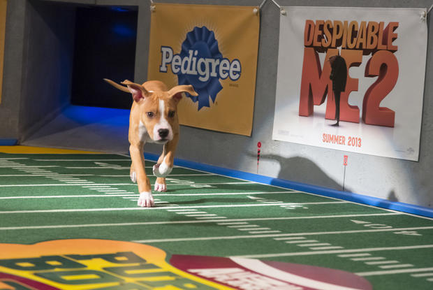 A puppy participant make its entrance on the field.